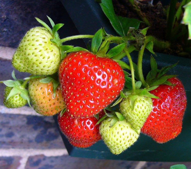 Can You Plant a Whole Strawberry or Not?